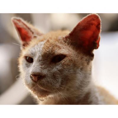 Ringworm In Cats (Dermatophytosis)